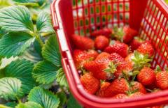 草莓怎么画?6个步骤包你学会画草莓!
