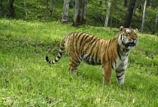 东北虎豹国家公园正式成立,成群跨境不是梦!