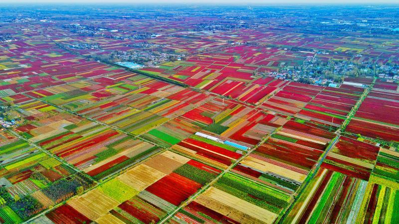 40万亩辣椒喜丰收,山东金乡县的秋田宛如油画!这是属于秋天的艺术!