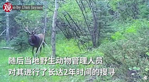 野生麋鹿戴了2年的轮胎被取下,所以他究竟是怎么戴上去的?
